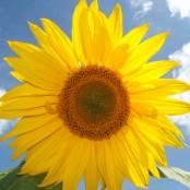 feature---Sunflower-2